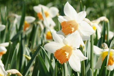 5 x Narcissus accent - biologische bloembol