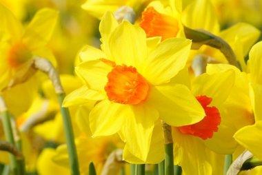 5 x Narcissus Brackenhurst - biologische bloembol