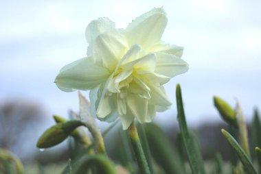 5 x Narcissus Calgary - biologische bloembol