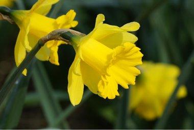 5 x Narcissus Dutch Master - biologische bloembol