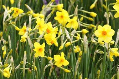 5 x Narcissus Martinette - biologische bloembol