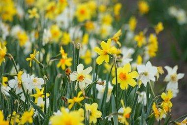 5 x Narcissus MIX - biologische bloembol