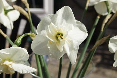 5 x Narcissus Papillon Blanc - biologische bloembol