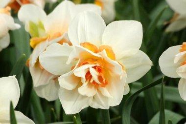 5 x Narcissus Replete - biologische bloembol