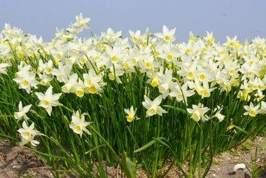 5 x Narcissus Sailboat - biologische bloembol