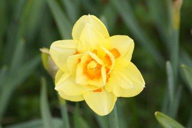 5 x Narcissus Tahiti - biologische bloembol