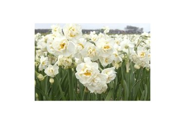 7 x Narcissus Bridal Crown - biologische bloembol