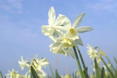 7 x Narcissus Thalia - biologische bloembol