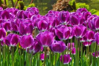 7 x Tulipa Negrita - biologische bloembol