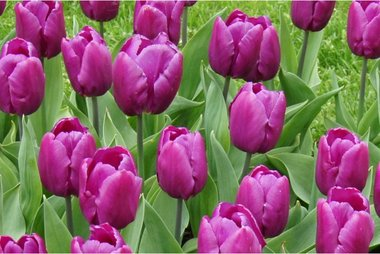 7 x Tulipa Purple prince - biologische bloembol