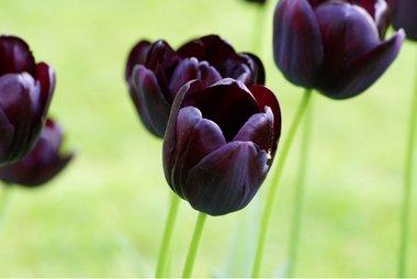 7 x Tulipa Queen of Night - biologische bloembol