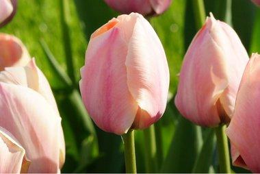 7 x Tulipa Salmon van Eijk - biologische bloembol