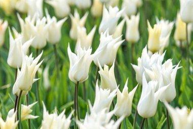 7 x Tulipa Sapporo - biologische bloembol