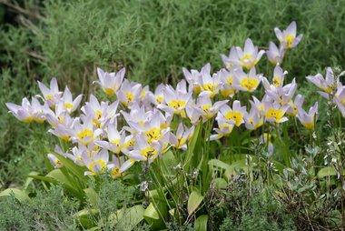 7 x Tulipa saxatilis - biologische bloembol