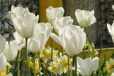 7 x Tulipa Silver Dollar - biologische bloembol