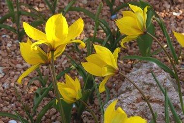 7 x Tulipa sylvestris - biologische bloembol