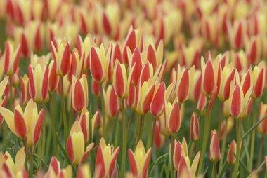 10 x Tulipa clusiana Tinka - biologische bloembol