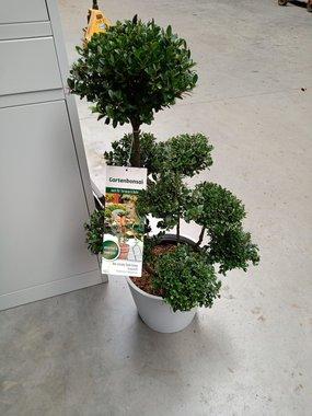 Ilex crenata Dark green® Bonsai 80 cm