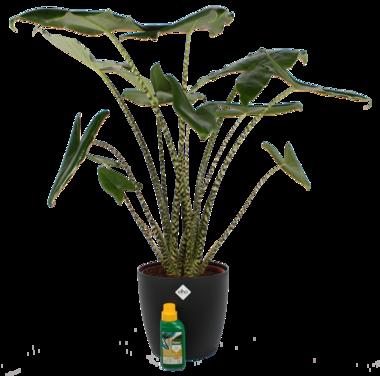 Alocasia Zebrina 100 cm met Elho sierpot en Pokon
