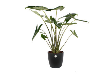 Alocasia Zebrina 100 cm met Elho sierpot