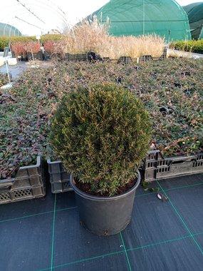 Taxus Baccata bol 40/50 cm