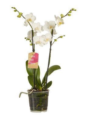 Phalaenopsis multiflora white (wit) 50 cm