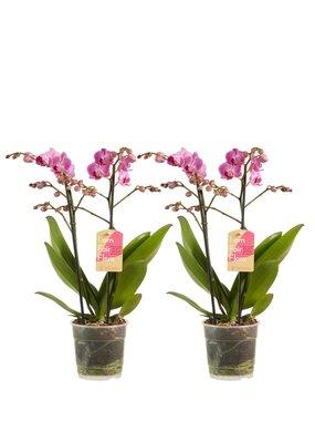 2 x Phalaenopsis multiflora purple 50 cm