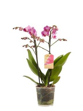 Phalaenopsis multiflora purple 50 cm