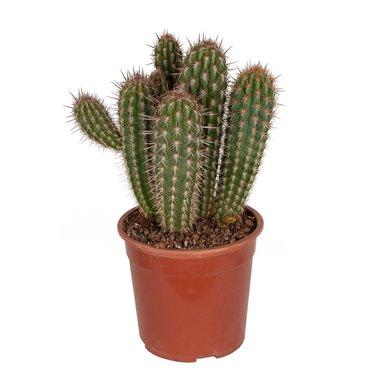 Pilosocereus gounelii 50 cm