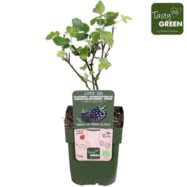 Rubus frut. 'Black Satin' - Doornloze braam - BIO fruitplant