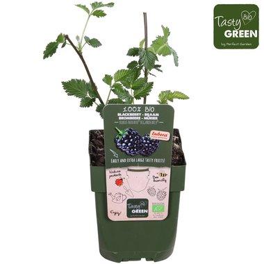 Rubus frut. 'Navaho Bigandearly'® - braam - BIO fruitplant