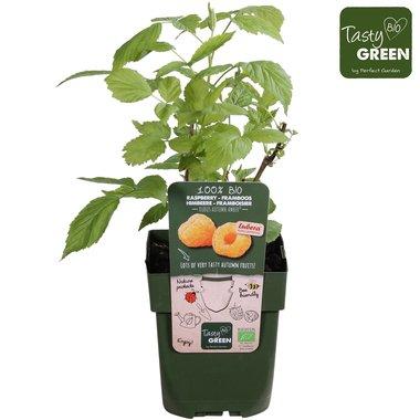 Rubus id. 'Autumn Amber'® - herfstframboos - BIO fruitplant