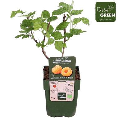 Rubus id. 'Golden Everest' - gele framboos - BIO fruitplant