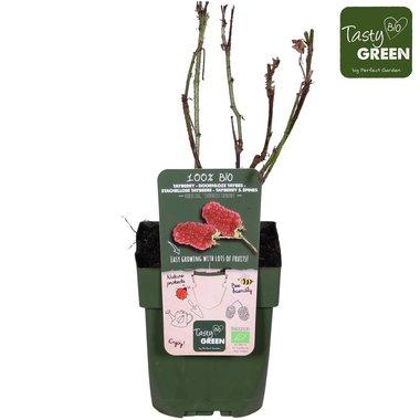 Rubus 'Tayberry' - taybes - BIO fruitplant