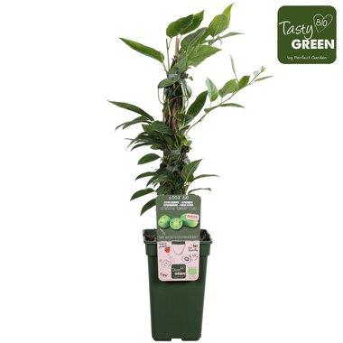 Actinidia arguta 'Kiwiberry'® - Mini kiwi - Bio fruitplant