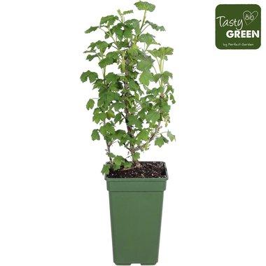 Ribes Jostaberry - Jostabes - BIO fruitplant