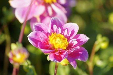 1 x Dahlia Hartenaas - biologische bloembol
