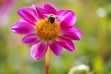1 x Dahlia Sweetheart - biologische bloembol