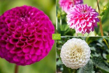 Dahlia Mix Pompon - biologische bloembol - 4 stuks biologische bloembollen