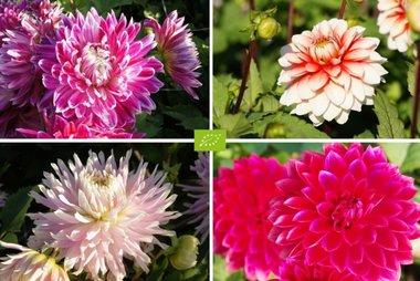 Moeder's recept Dahlia Mix Rood-Roze - 4 stuks biologische bloembollen