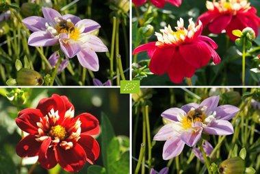 Dahlia Bijen Mix Roze-Rood - 4 stuks - biologische bloembollen