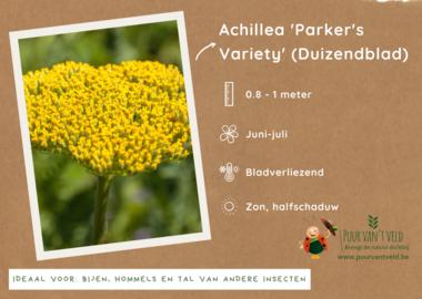 Achillea 'Parker's Variety' - Duizendblad