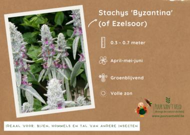 Stachys Byzantina - Ezelsoor