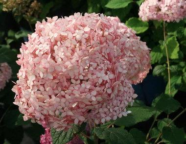 Hydrangea arb. 'pink annabelle®' 30-50 cm (invincibelle®)