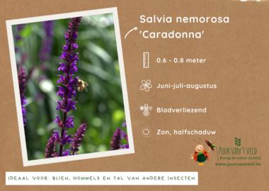 Salvia Nemorosa 'Caradonna' - bossalie