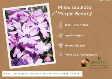 Phlox sublata 'Purple Beauty' - kruipende vlambloem