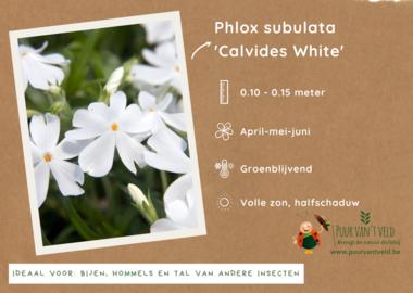 Phlox sublata 'Calvides White' - kruipende vlambloem