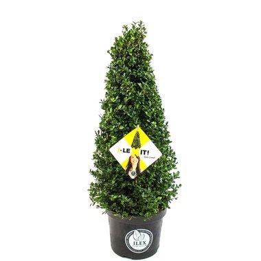 Ilex crenata Dark green® piramide 50/60 cm