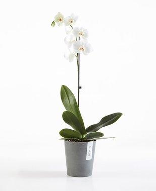 Ecopots Morinda 14 cm - voor orchideeën