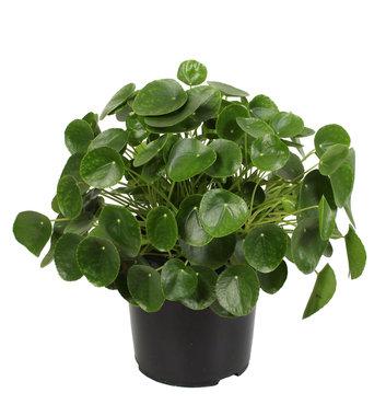 Pannenkoekenplant XL(Pilea Peperomioides )